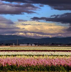 Lompoc Flower Fields with the Santa Ynez Range covered in snow.