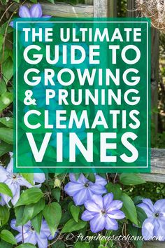 Clematis Is A Very Versatile And Easy To Grow Vine With So Many Redeeming Qualities That It Should Be On Every Gardener's Favorite Perennials List. Snap Here To Learn More About How To Grow And Prune Clematis. Clematis Care, Blue Clematis, Clematis Plants, Autumn Clematis, Clematis Flower, Part Shade Perennials, Shade Plants, Sun Perennials, Organic Gardening