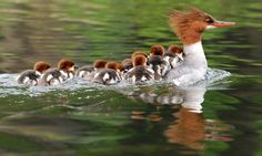 Common Merganser hen with chicks.