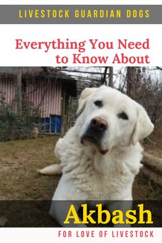 The unique qualities of Akbash make them an excellent choice for a livestock guardian dog (LGD), property guard dog, or family companion. Read here for everything you may want to know about this gorgeous breed. Akbash Dog, Raising Farm Animals, Great Pyrenees Dog, Farm Dogs, Tibetan Mastiff, Anatolian Shepherd, Pet Dogs, Pets, White Dogs