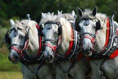 Plow Team by Dorothy Turnbull - Animals Horses ( ohio, horses, dorothy turnbull, horse pull, plow, team, carriage hill, five rivers metro pa...