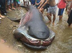 Conheça o megamouth, um tubarão raríssimo que tem lábios de borracha