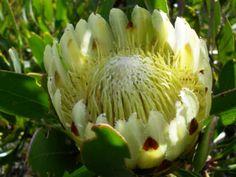 Protea Obtusifolia, the white form          Bredasdorp Protea       Bredasdorpsuikerbossie       S A no 94