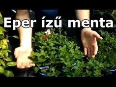 Menta sp. - Eper ízű menta