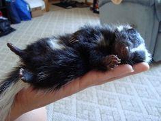 Baby skunk!