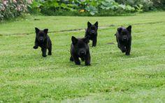 Adorable black shepherd puppies