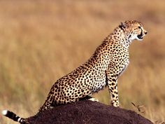 cheetah | ... cheetah however depends completely on the area in which the cheetah