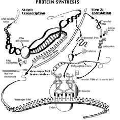 DNA -transcription-> RNA -translation-> Proteins | for school ...