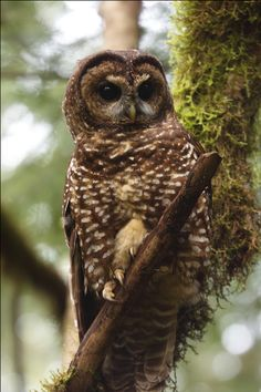 The Northern Spotted Owl, an enduring symbol of the forest conservation fight in the American West. Photo: Kameron Perensovich #EarthDay2015