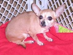 ' Cheyenne ' 142-13 is an adoptable Chihuahua Dog in New Castle, PA. My name is ' Cheyenne ' I am a Chihuahua. I am approx. 7 years old. I am very sweet and little. I have been vaccinated and I am rea...