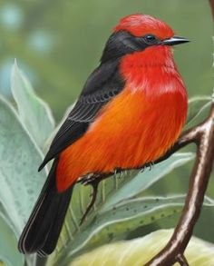 Vermilion Flycatcher - Whatbird.com Tropical Birds, Exotic Birds, Colorful Birds, Pretty Birds, Beautiful Butterflies, Beautiful Birds, Different Birds, Kinds Of Birds, Small Birds