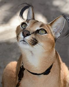 "The caracal is native to Africa, Central Asia, Southwest Asia and India. The cat's name comes from the Turkish word ""karakulak"", which means ""black ear"". Big Cats, Crazy Cats, Cats And Kittens, Cute Cats, Beautiful Cats, Animals Beautiful, Animals Amazing, Caracal Cat, Baby Caracal"