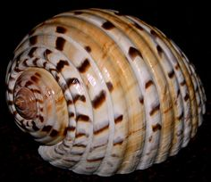 tonnidae - Google Search