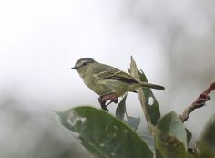 Peruvian Tyrannulet   (Zimmerius viridiflavus)