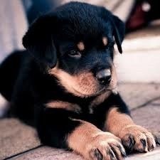 Rotweiller puppy...i'm waiting... for the one i love...