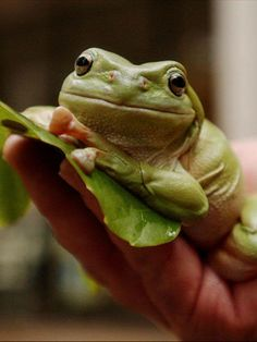 You probably know that frog numbers are in rapid decline. What you may not know is that science is only now discovering that many frogs have some remarkable anti-bacterial properties including one that can control the notoriously difficult MRSA Staphylococcus bug.  http://www.abc.net.au/science/articles/2014/05/21/4008786.htm