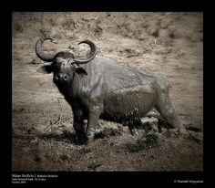 Water Buffalo (Bubalus Bubalis), Yala National Park, Sri Lanka (www.secretlanka.com) Water Buffalo, Sri Lanka, National Parks, Destinations, Asia, Elephant, Travel, Animals, Viajes