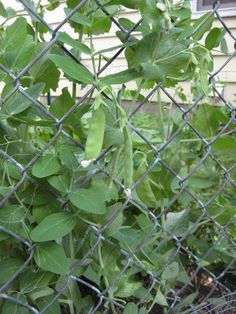 The chain link fence on the west side of the garden will offer the perfect support for peas, which grow productively throughout the winter months here in Fresno.