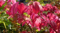 Parrotia persica in autumn