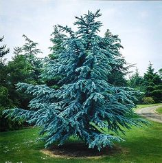 Blue Atlas Cedar Evergreen Landscape, Evergreen Trees, Potted Trees, Flowering Trees, Weeping Alaskan Cedar, Dappled Willow Tree, Blue Atlas Cedar, Types Of Christmas Trees, Trees Online