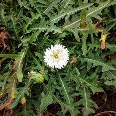 Organic White Dandelion (Taraxacum albidum)