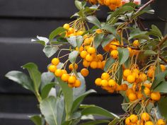 Pyracantha Soleil d'Or - Firethorn. The firethorns are all tough, very hardy shrubs which tolerate a wide range of demanding conditions, including shaded and exposed positions, and make dense thorny evergreen growth ideal for intruder-proof hedging or for training on walls to display their profuse and brightly coloured berries. Disaster Preparedness, Fences, Evergreen, Shrubs, Berries, Conditioner, Walls, Training, Gardening