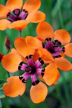 Cape Buttercup, Sparaxis elegans (Sweet) Goldblatt Family : Iridaceae Common names : Cape buttercup, spar axis, pale harlequin flower. (Eng.), spogfluweeltjie (Afr.) ???