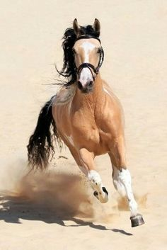 Pretty tri-colored horse running in the sand.