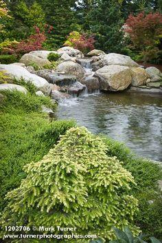 1203706 Gold-foliage dwarf Hemlock in front of waterfall & small pond w/ Japanese Maples, dwarf conifers bkgnd [Tsuga cv.; A