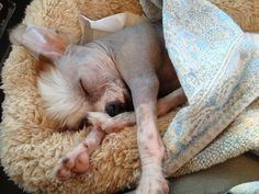 Great experience purchasing our new puppy. Chinese crested hairless. Happy, Luis to play, sleeps through night and doing great w potty training. His sister is still available. They played together and wish shed find a loving home! Loves to cuddle... Just named Enzo.