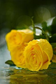Beautiful yellow roses in rain..