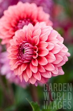 "Mystique Dahlia (4"" bloom; 4.5' bush): dusty rose whose edges are lightened…"