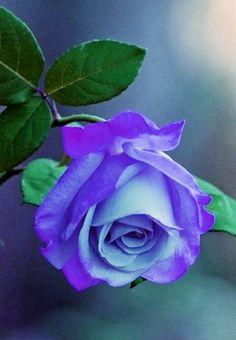 Blue Roses Wallpaper, Beautiful Rose Flowers, Purple Flowers, House Plants, Color Schemes, Garden, Nature, Dreams, Purple Roses