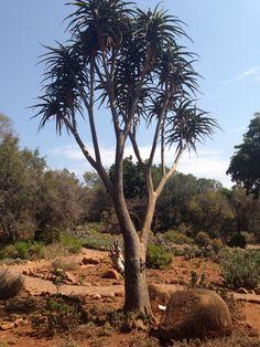 Pretoria Botanical Gardens Pretoria, Botanical Gardens, Country Roads, Trees, Awesome, Plants, Plant, Home Decor Trees, Wood