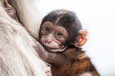 Snoezige Baby Berberaap (geboren 2012) #apenheul