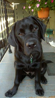 Mind Blowing Facts About Labrador Retrievers And Ideas. Amazing Facts About Labrador Retrievers And Ideas. Labrador Golden, Black Labrador Retriever, Golden Retriever, Labrador Retrievers, Retriever Puppies, Lab Puppies, Cute Puppies, Cute Dogs, Bull Terriers