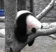 Baby panda nap time. Bao Bao, Smithsonian National Zoo panda cam April 2014