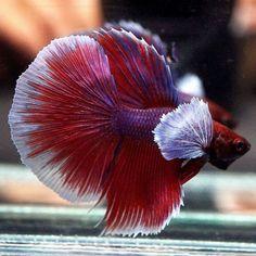 #fishtank #aquarium #freshwater #aquariumplants #aquaticplants #aquascape   289778557266431797