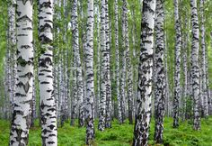 nice summer birch forest Wall Mural ✓ Easy Installation ✓ 365 Day Money Back Guarantee ✓ Browse other patterns from this collection!