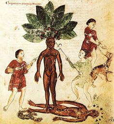 Fantastically Wrong: The Murderous Plant That Grows From the Blood of Hanged Men | The root of the mandrake plant was once thought to scream when pulled from the ground, rendering agonizing death to all those without wax in their ears. Well, extra wax, I mean—like, a lot of it. Simply not swabbing your ears won't save you from anything, much less a homicidal plant.  | Credit: Wikimedia | From WIRED.com
