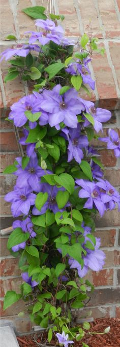 CLEMATIS Purple Clematis, Clematis Vine, Summer Flowers, Purple Flowers, Beautiful Flowers, Garden Shrubs, Garden Plants, Lilies Of The Field, Love Garden