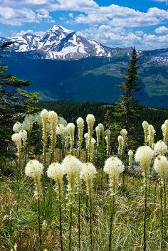 Beargrass  Glacier National Park