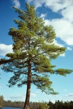 The Best Plants for Under Pine Trees