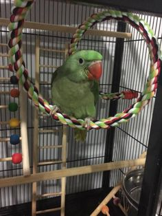 LOST ALEXANDRINE: 13/08/2015 - Pimpama, Queensland, QLD, Australia. Ref#: L20614 - #ParrotAlert #LostBird #LostParrot #MissingBird #MissingParrot #LostAlexandrine #MissingAlexandrine