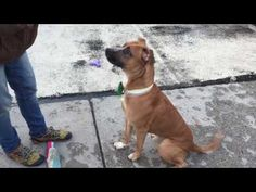 SIR EDWARD – A1107369 SIR EDWARD –A1107369  **RETURNED 04/15/17**  NEUTERED MALE, BROWN / WHITE, PIT BULL / GERM SHEPHERD, 3 yrs RETURN – AVAILABLE, HOLD FOR ID Reason PETS CONFL Intake condition EXAM REQ Intake Date 04/15/2017, From NY 11221, DueOut Date04/22/2017