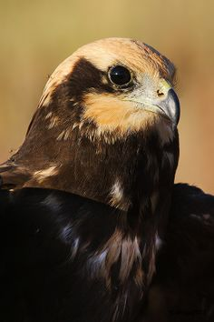 Marsh Harrier The marsh harrier is now usually split into several species, sometimes as many as six.