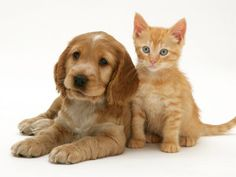 Golden Cocker Spaniel Puppy with Ginger Kitten Premium Poster Puppies And Kitties, Baby Kittens, Dogs, Golden Cocker Spaniel Puppies, Ginger Kitten, Dog Games, Humane Society, Dog Cat, Cute Animals