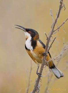 The Eastern Spinebill, Acanthorhynchus tenuirostris, is a species of honeyeater found in south-eastern Australia
