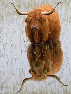 Hairy coo ~ Beautiful reflection