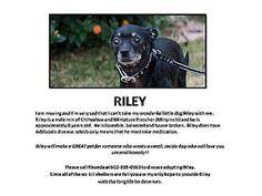 Gilbert, AZ - Miniature Pinscher/Chihuahua Mix. Meet Riley a Dog for Adoption.